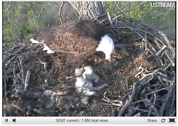decorah eagle cam